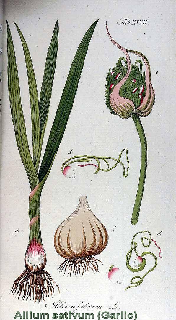 Česnek setý - zázračná bylina