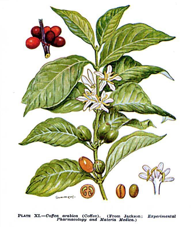 Káva, uklidňující lék; káva jako bylinka