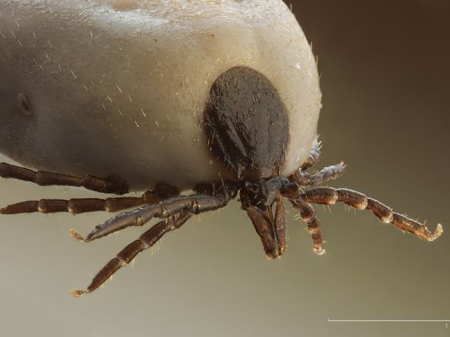 Jak vyndat klíště, různé způsoby likvidace parazita