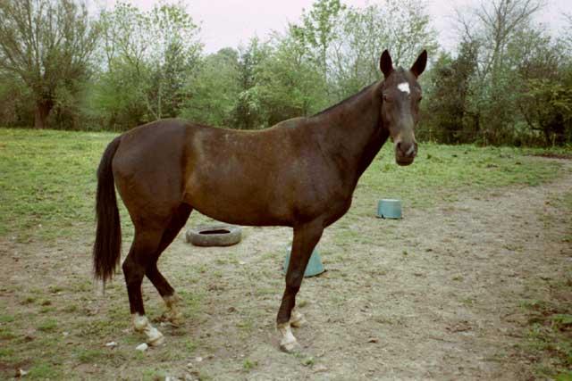Achaltekinský kůň