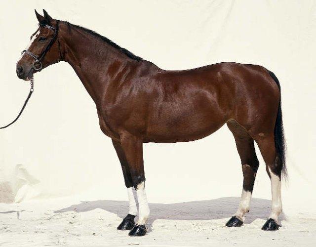 Hanoverský kůň