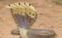Pětihlavá kobra