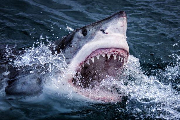 Žralok - fakty zajímavosti,vše  co jste chtěli vědět o žralocích