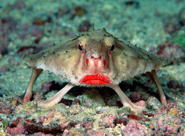 Batfish - netopýří ryba se sytě červenou pusou