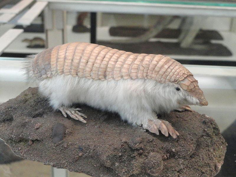 Pláštník malý, pásovcovitý živočich