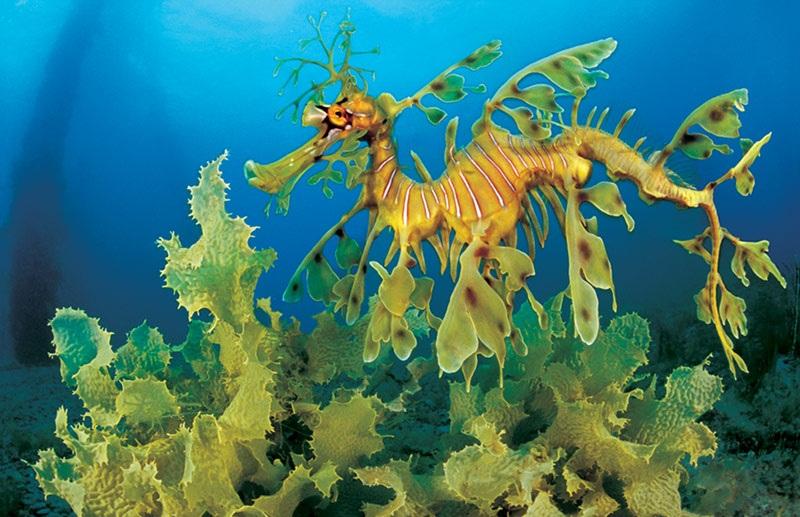 Mořský drak řasovník rozedraný