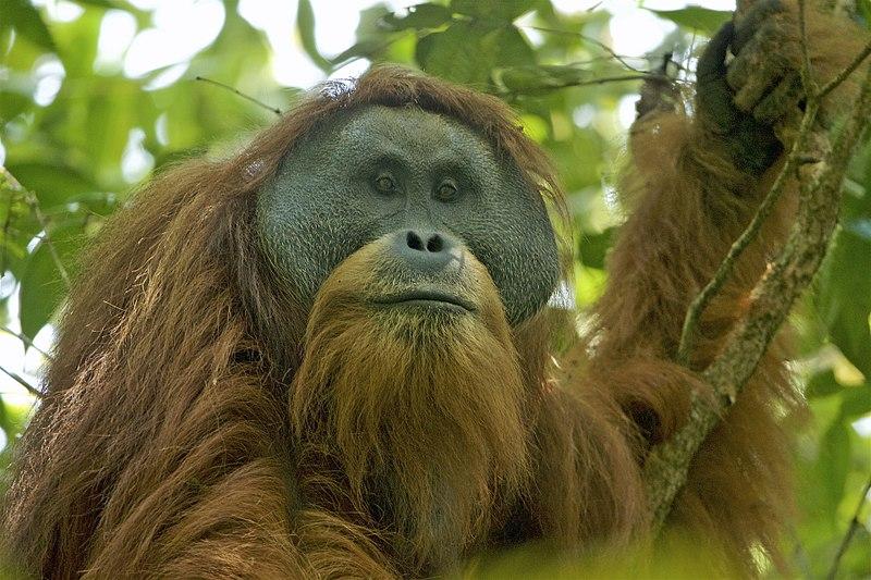 Objeven nový druh opice, Tapanulijský orangutan