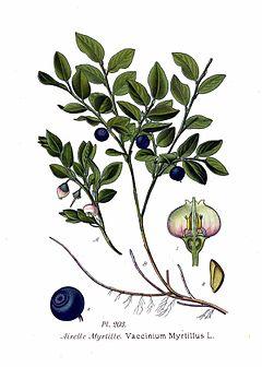 Borůvka - rostlina léčící oči