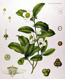 Čaj, bylina čajovník čínský, všechno o čaji