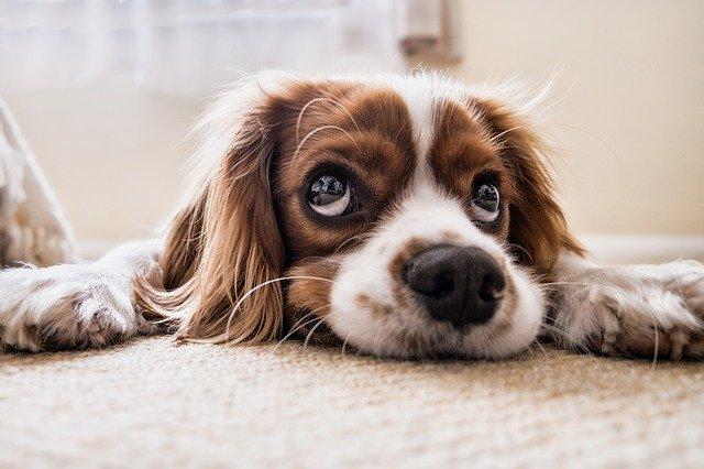 Váš pes s vámi manipuluje, vyvíjel se k tomu tisíce let