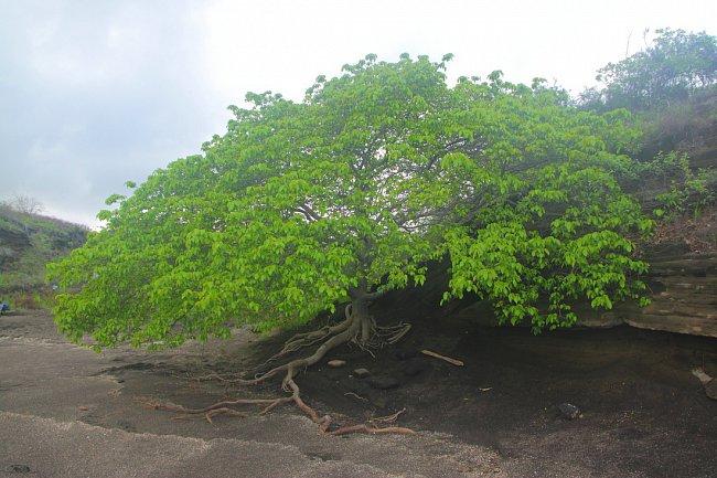 Mancinella obecná, nejjedovatější strom světa