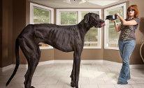 Nejvyšší pes světa, pes Zeus - 118 cm